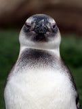 Penguin face Stock Image
