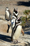 Penguin shouting loudly Royalty Free Stock Image