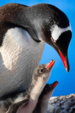 Penguin Family. Penguin Mother and her two Children in Antarctica stock images