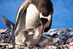 Penguin Family. Penguin Mother and her two Children in Antarctica royalty free stock photo