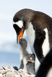 Penguin Family. Penguin Mother and her two Children in Antarctica Royalty Free Stock Images
