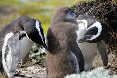 Penguin Family. Magellan Pengiuns at Seno Otway royalty free stock images