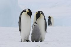 Penguin Family. A view of a cute Emperor Penguin couple with a small offspring, on snowy Antarctic landscape Stock Photos
