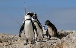 Penguin family. Boulders Beach, Cape Town stock images