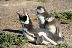 Magellanic Penguin Family. Magellanic penguins at Punta Tombo in Patagonia, Argentina Royalty Free Stock Photos