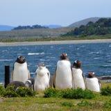 Penguin family. Family of gentoo penguins in Ushuaia stock image