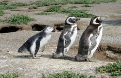 Penguin family. Magellanic penguin family. TheMagellanic penguin(Spheniscus magellanicus) in South America. Pinguin breeding in coastal stock photos