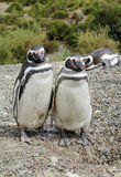 Penguin family. Magellanic penguin family. TheMagellanic penguin(Spheniscus magellanicus) in South America. Pinguin breeding in coastalArgentina royalty free stock image