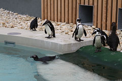 PENGUIN FAMILY. Marching to the pool in a zoo royalty free stock photos