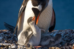 Penguin Family. Penguin Mother and her two Children in Antarctica stock photos