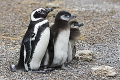 Penguin Family. Patagonia penguin family mother and babies stock photo