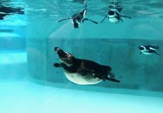 Penguin family underwater. Penguin family swimming underwater in a zoo Royalty Free Stock Photography