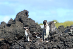 Penguin family  in the wild,  Galapagos Islands Royalty Free Stock Photography