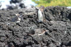 Penguin family  in the wild,  Galapagos Islands Stock Image