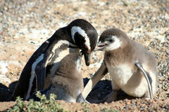 Penguin Feeding Babies Royalty Free Stock Image