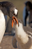 Penguin Feeding its Young Royalty Free Stock Image
