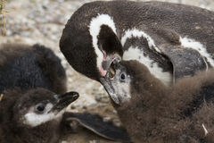Penguin feeding offspring Royalty Free Stock Image