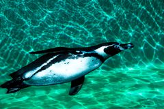 Penguin floats in turquoise water stock photos