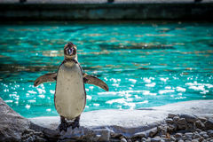 Penguin Full Body Shot at London Zoo Stock Images