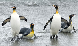Penguin Fun in the Waves. Four King Penguins slashing on the beach - South Georgia stock images
