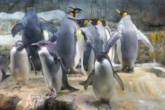 Penguin Gang Royalty Free Stock Photos