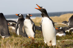 Penguin (Gentoo) Calling in the colony. Falklands. Royalty Free Stock Photo