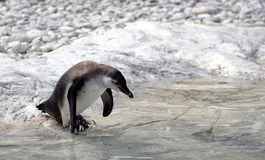 Penguin going for a swim. Penguin about to jump into the water Royalty Free Stock Image