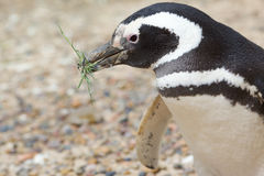 Penguin with grass in beak Stock Image