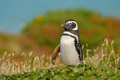 Penguin in grass, funny image in nature. Falkland Islands. Magellan penguin in the nature habitat. Summer day in the nature, green Royalty Free Stock Images