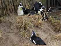 Penguin group Royalty Free Stock Photography