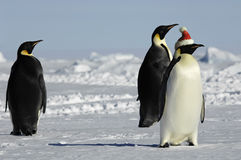 Penguin group at Christmas Royalty Free Stock Photography