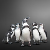 Penguin group. Group of cute penguin on grey background Stock Photos