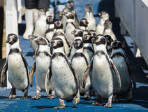 Penguin group walking Stock Photos