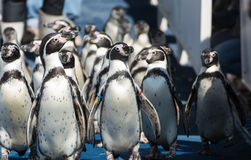 Penguin group walking Royalty Free Stock Images