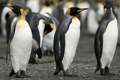 Penguin Guards Stock Photography