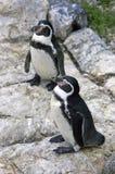 Penguin   gumbolt bird vertebrate the-point Royalty Free Stock Images