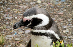 Penguin head royalty free stock photos