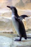 Penguin Humboldt Royalty Free Stock Photography