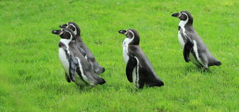 Penguin Humboldt. Four penguins Humboldt walking in the grass Royalty Free Stock Image