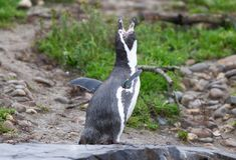 Penguin humboldt stock photos
