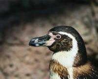 Penguin Royalty Free Stock Image