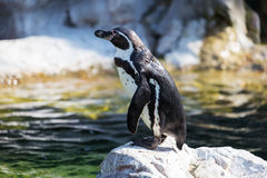 Penguin Humboldt on rock Royalty Free Stock Photos