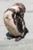 Penguin Humboltd Στοκ Εικόνες