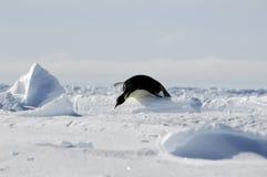 Penguin hurdle race. An Antarctic emperor penguin gliding over an ice hurdle Stock Photo