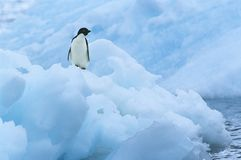 Penguin on iceberg Stock Image