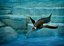 Penguin In The Water Stock Photos
