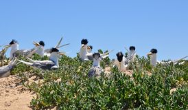 Penguin Island Crested Terns Royalty Free Stock Photography