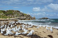 Seagulls on the western beach. Penguin island. Shoalwater islands marine park. Rockingham. Western Australia royalty free stock photography