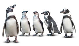Penguin isolated. Group of cute penguin isolated on white background Stock Image