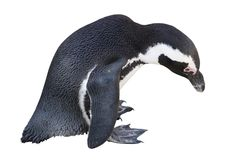 Penguin Isolated on White Royalty Free Stock Images